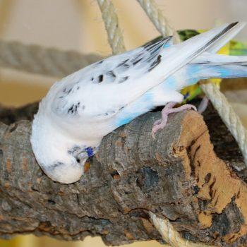"""Welche gute Beschäftigung gibt es für meinen Wellensittich oder Nymphensittich? Bei der Wahl des """"richtigen Spielzeuges"""" für Ihre Wellen- Nymphensittiche werden Sie sicherlich einige Überlegungen anstellen. Woran haben meine Nymphen – Wellensittiche wirklich Spaß und womit beschäftigen sie sich gerne, wenn Sie die Vögel beobachten? Haben sie erkennbare Vorlieben beim Spiel? Sind die kleinen Papageien verängstigt oder sehr skeptisch bei dem ein- oder anderem Gegenstand? Halten die Vögel lange an """"Ihrem Spiel"""" fest oder verlieren sie schnell das Interesse? Woran knabbern und nagen meine Wellen-Nymphensittiche gerne? Sind die Vögel beim Spiel energisch und kraftvoll zu Gange oder eher vorsichtig und verhalten? Viele Fragen, die es bei der Wahl der richtigen Beschäftigung zu beantworten gilt. Korkrinde bietet so ziemlich für jede individuelle Eigenschaft und Vorliebe Ihres Wellen- Nymphensittichs die passende Alternativlösung, da Kork zu allen Ihren Überlegungen die richtige Antwort parat haben kann. Ihre Vögel können sich ausdauernd mit dem Korkmaterial beschäftigen, indem sie es mit Ihrem Schnabel schreddern und bearbeiten. Dabei verlieren gerade Nymphen- und Wellensittiche so schnell gewiss nicht das Interesse. Die Korkoberfläche ist für Ihre Vögel eine Erkundungsfläche, die immer zum aktiv sein einlädt und vor der Ihre Schützlinge keine Angst haben werden. Vielleicht sind Ihre Vögel anfänglich zaghaft, wenn Sie den Gegenstand Kork noch nie gesehen haben, aber schneller als erwartet werden sie das Naturprodukt Kork unter Ihren Spielzeugen zu den Favoriten zählen. Nicht nur, dass unbehandeltes Rindenkork zum Spielen und Nagen hervorragend geeignet ist, auch in Ruhephasen können sich Ihre Wellen- und Nymphensittiche auf dem Korkstück optimal ausruhen und entspannen. Probieren Sie es einfach aus, Ihre Vögel werden die Korkrinde lieben und es Ihnen danken. Vielleicht entdecken Sie sogar beim Spiel neue Seiten an Ihren Vögeln, die Sie bisher noch nicht beobachten konnten,"""