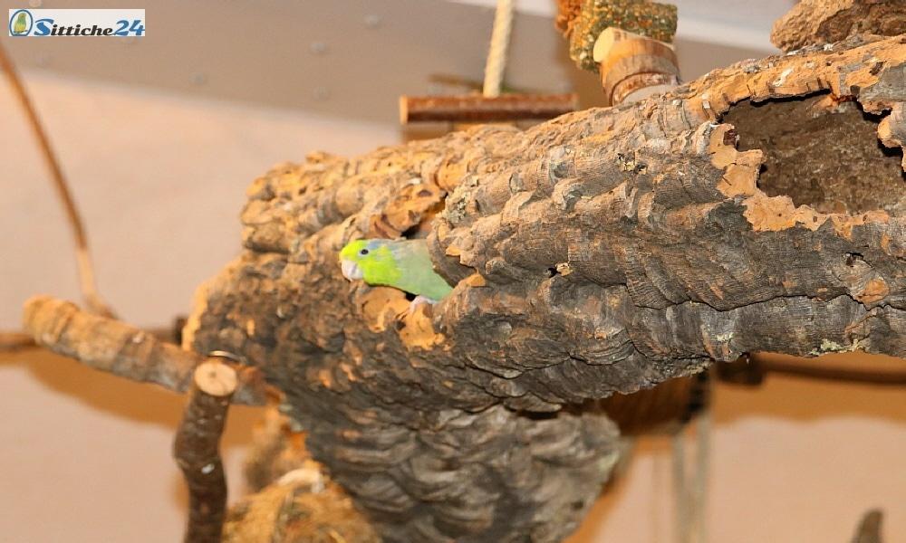 """Vogelspielzeug München. Sittiche24 ist versandbereit mit seinem """"natürlichen Vogelspielzeug"""" für Münchens Wellensittiche, Papageien oder Ziervögel. Korkrinde ist hervorragend geeignet als Vogelzubehör für Ihren Vogelkäfig oder Ihre Vogelvoliere und zählt sicherlich zu den sinnvollsten Vogelspielzeugen, welches Sie Ihren Vögeln anbieten können. Unser Vogelshop ist für Ihre gefiederten Freunde in München mit handverlesenen, natürlichen Produkten aus Kork gerüstet – versandfertig in sicherer Verpackung. Überraschen Sie Ihre Wellensittiche und Kanarienvögel mit natürlicher Korkrinde von der Korkeiche (Quercus suber), einem Baum der äußerst anspruchslos ist und vorwiegend im Mittelmeerraum beheimatet ist. Zu den weltweit größten Anbietern von Rindenkork gehört Portugal. Die Korkernte wird dort staatlich überwacht und die """"Korkwirtschaft"""" steuert heute einen wichtigen Beitrag zum Bruttosozialprodukt auch für andere Mittelmeerländer bei. Kork als Vogelspielzeug vereint viele Vorteile, die es so begehrt machen. Das Material hat eine isolierende Wirkung, ist witterungsbeständig und vor allem: Kork ist nachhaltig! Die Umwelt wird durch das Roden des hiesigen Baumbestandes nicht geschädigt, da die Rinde nach ihrer Schälung wieder natürlich nachwächst. Unsere Hausvögel sind begeistert von Korkrinde, egal welche Vogelart – Rindenkork wird von unseren gefiederten Freunden als """"Vogelspielzeug"""" nahezu verehrt. Denn Kork besitzt eine Menge unvergleichlicher Eigenschaften, zum Beispiel unterliegt es keinerlei Alterung und tut meist über Jahre zuverlässig seinen Dienst – und das täglich! Rindenkork wirkt isolierend und hält beispielsweise Ihren Sperlingspapageien angenehm warm, zudem ist die Korkrinde staubabweisend und deshalb auch gesundheitlich unbedenklich - nicht nur für Ihre Hausvögel, sondern auch für Sie als Vogelhalter, sollten Sie unter Asthma leiden. Ihre gefiederten Freunde müssen also nicht auf den großen Knabberspaß verzichten und: Sie können an der Begeisterung Ihrer Sc"""